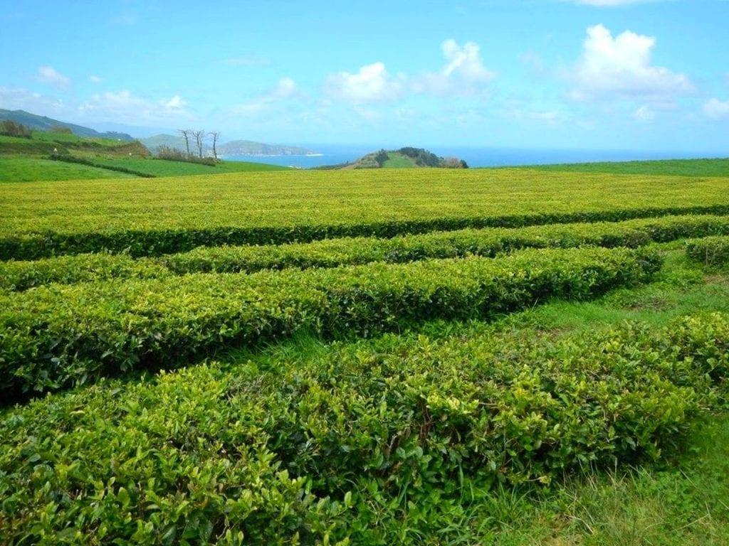plantacja herbaty portugalia azory