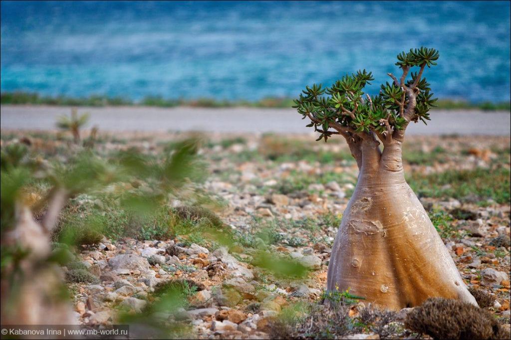 Adenium arabskie czyli Róża Pustyni - Wyspy Sokotra