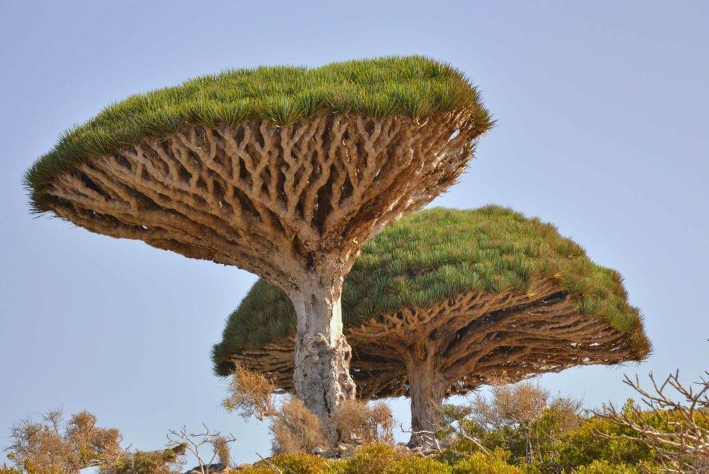 Niezwykła drzewo Dracaena cinnabari - Wyspy Sokotra