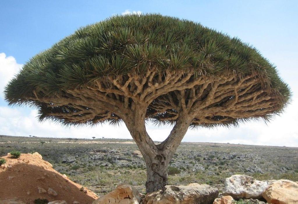 Dracaena Cinnabari zwana też Smoczym Drzewem - Wyspy Sokotra