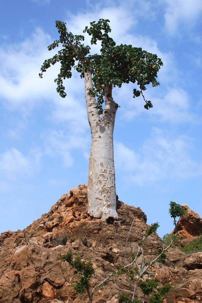 Drzewo ogórkowe na wyspie Sokotra - Wyspy Sokotra