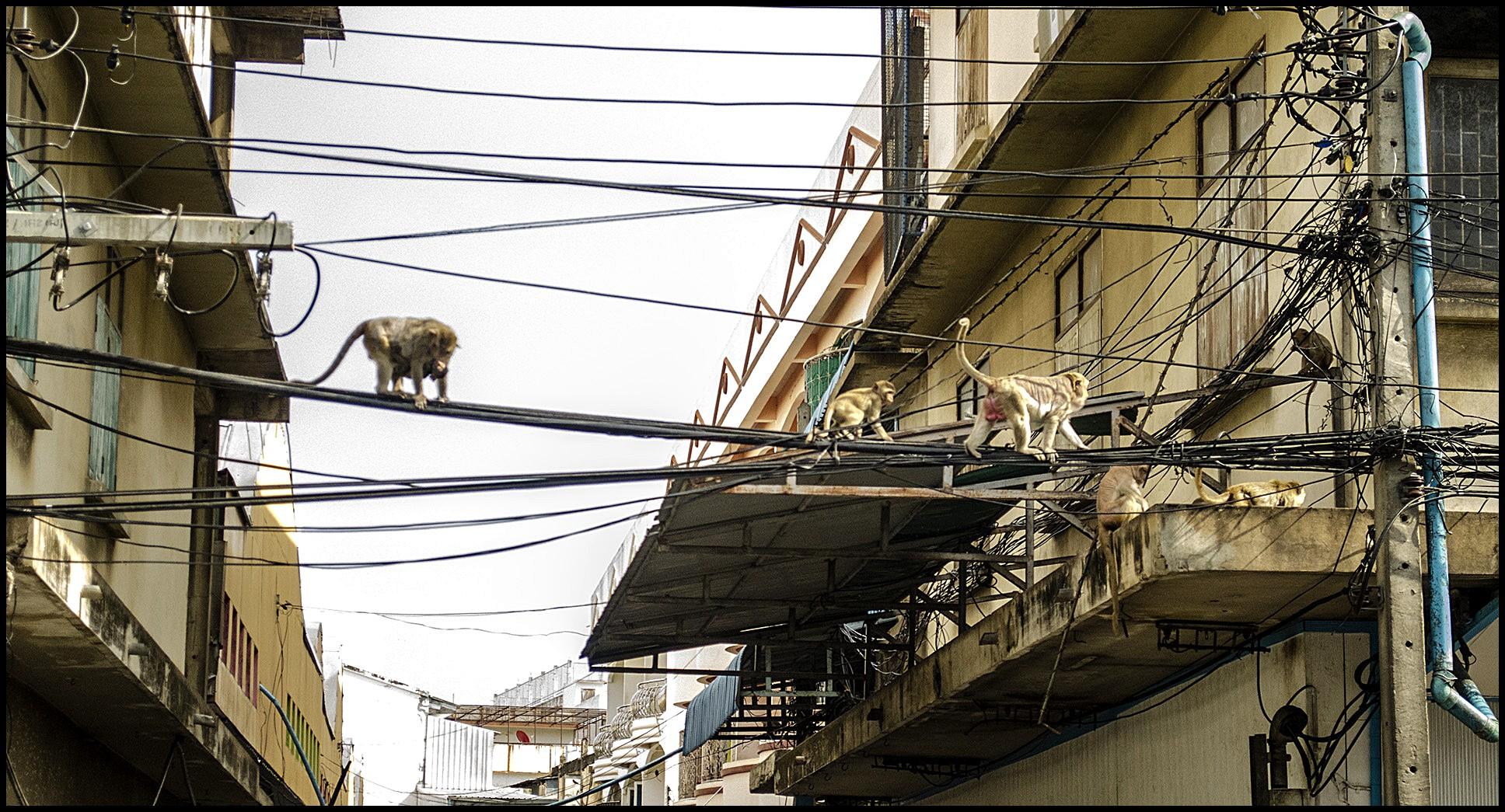 małpy znajdziemy wszędzie w Lopburi