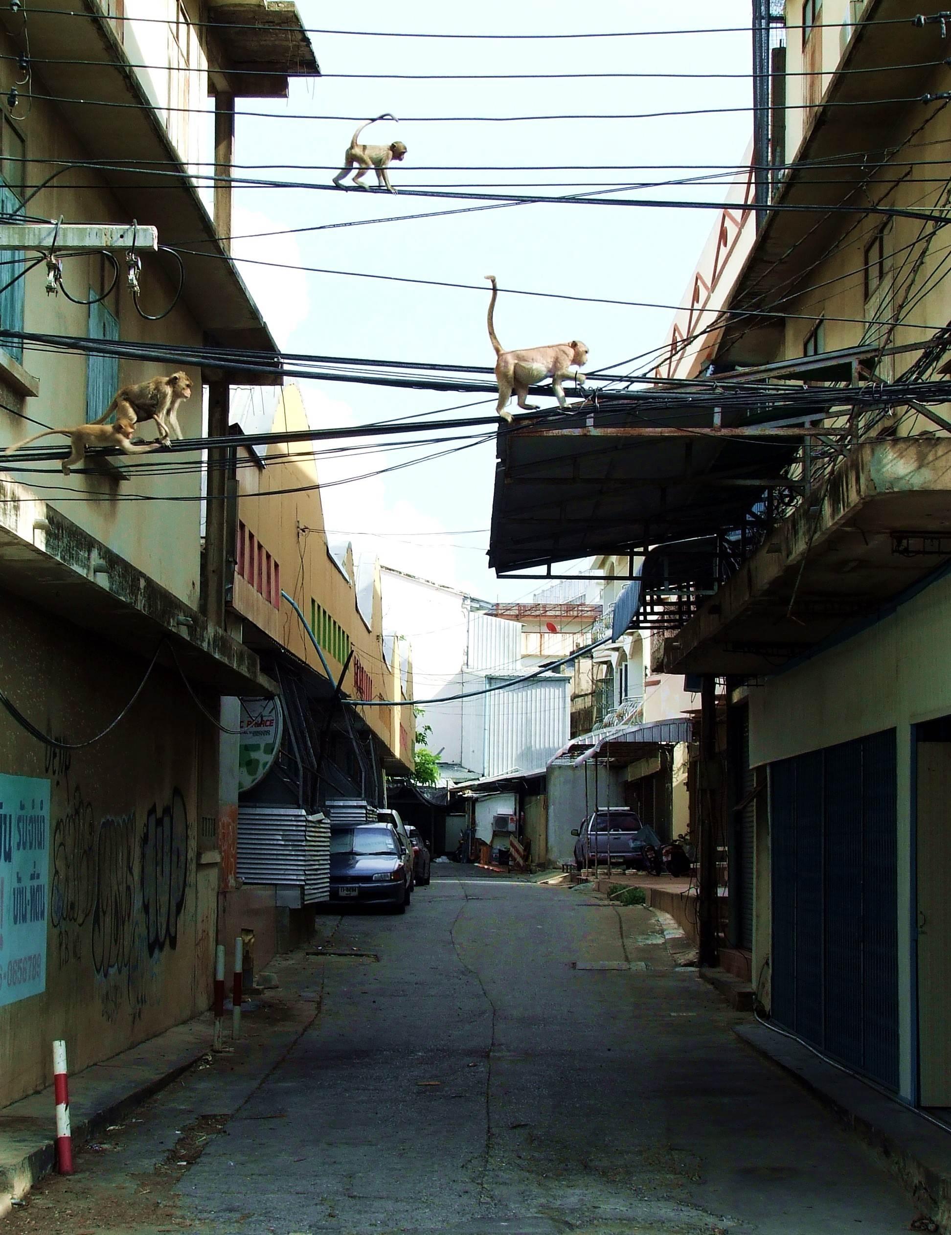 ulice lopburi opanowane przez małpy