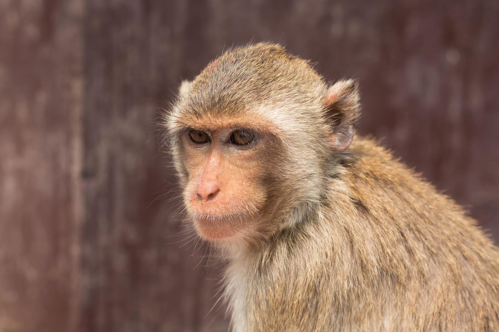 makaki krabożerne w tajlandii