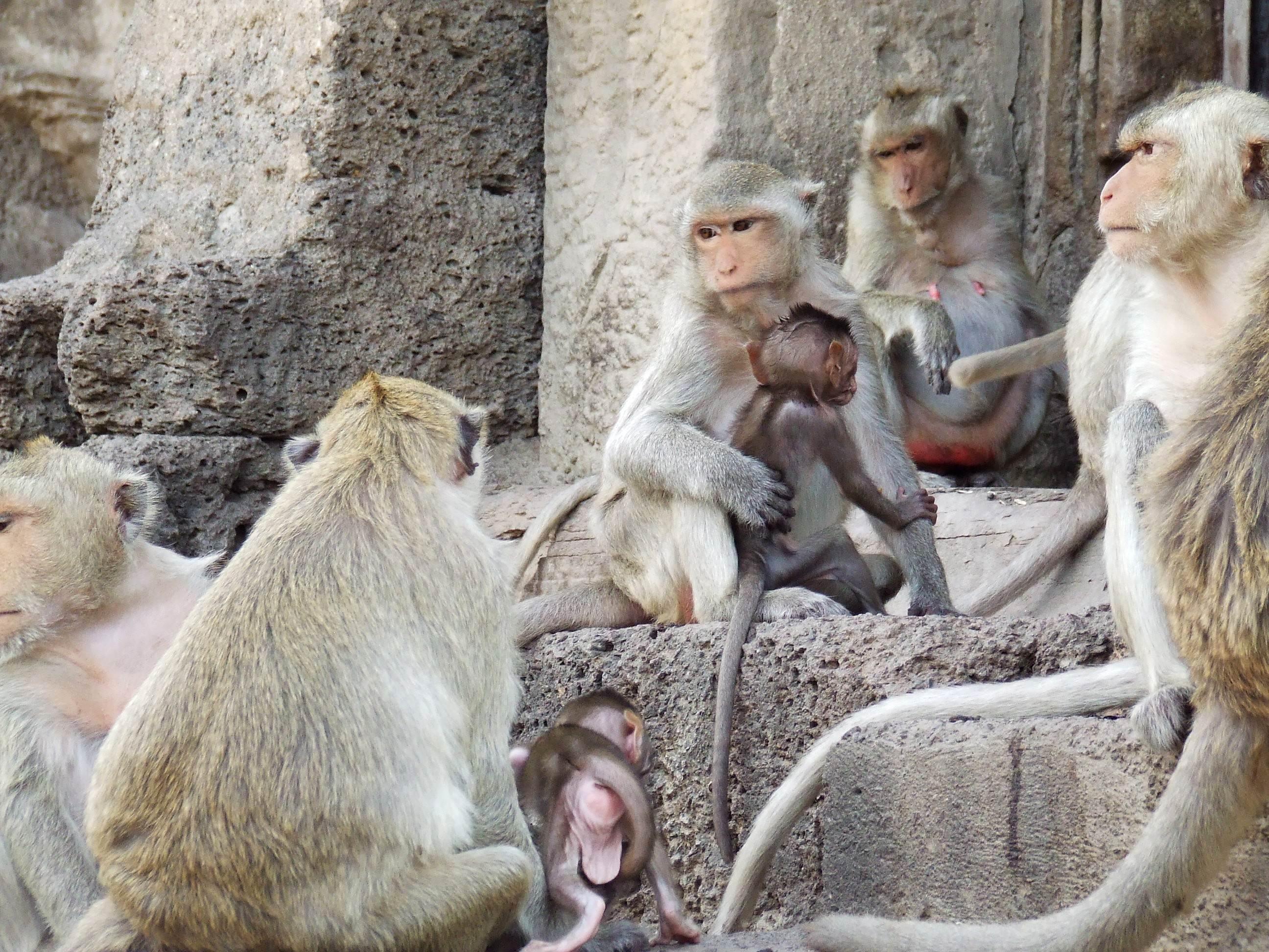 Rodzina małp w Lop Buri