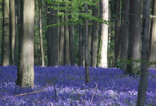 Niebieski las w Belgii
