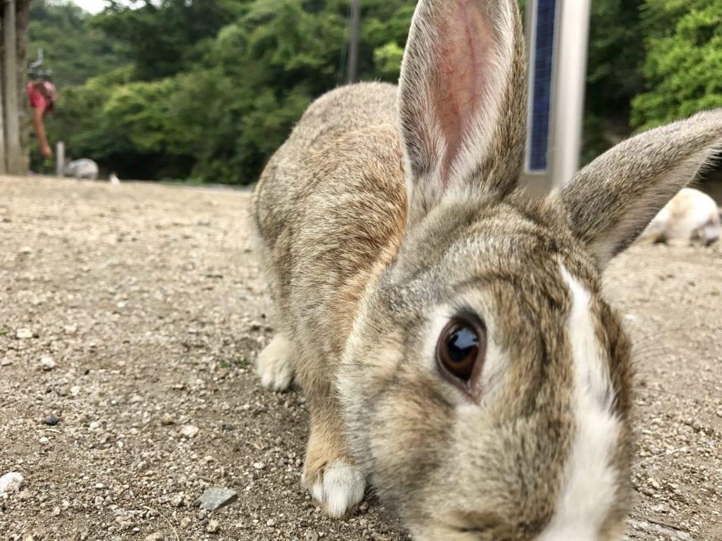 Okunoshima - wyspa królików w Japnii