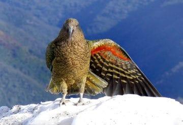 Papuga Kea Nowa Zelandia