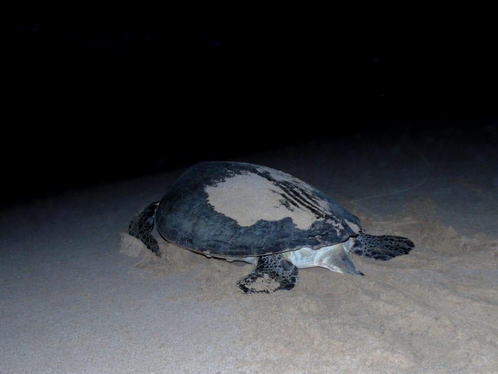 Żółw zielony, Oman