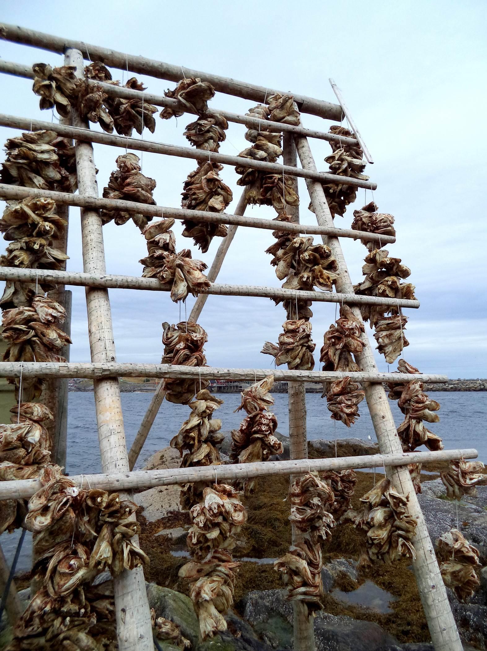 Sztokfisz dorsz Lofoty, Norwegia