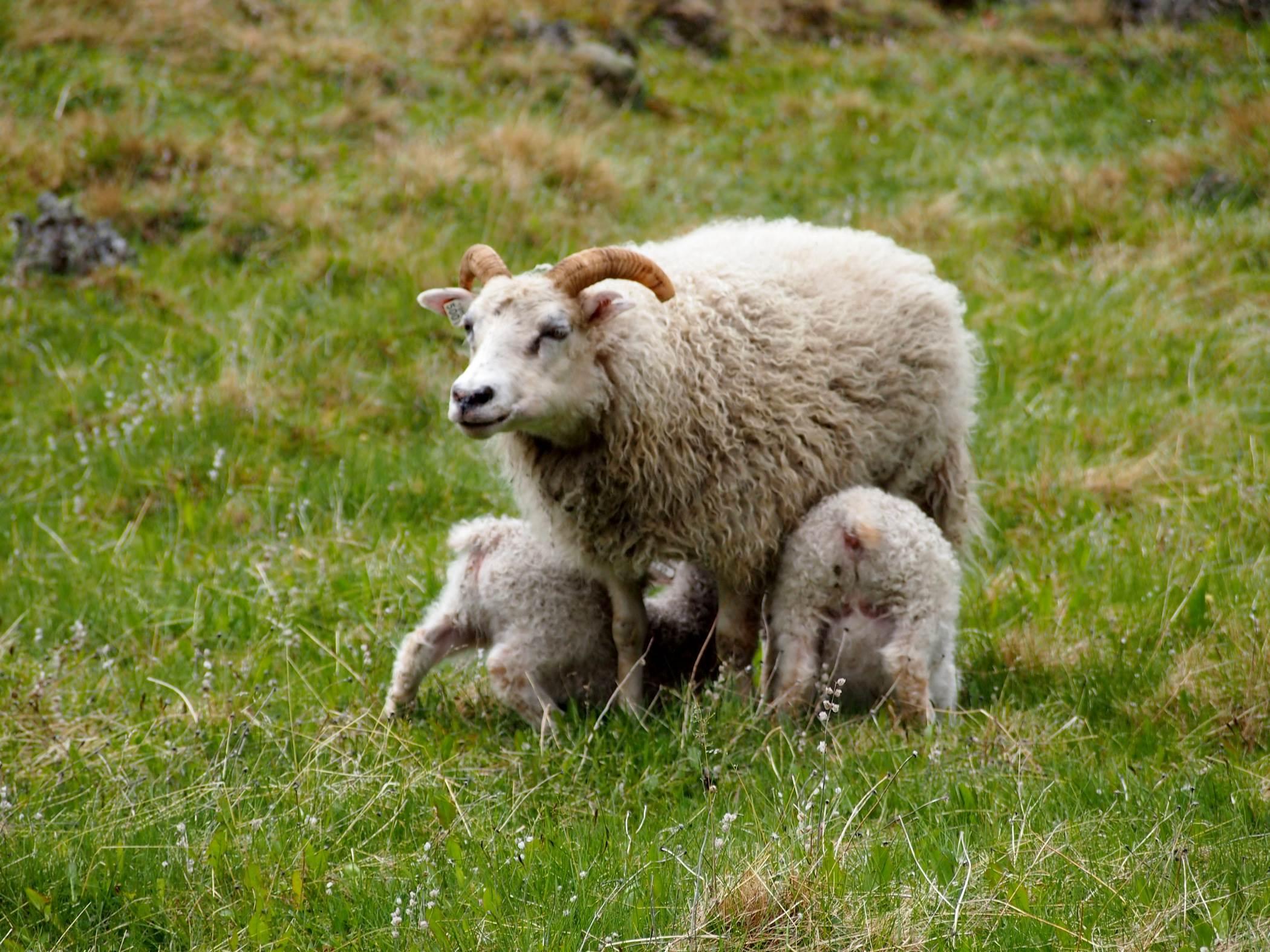 Owce islandzkie wypas zwierząt