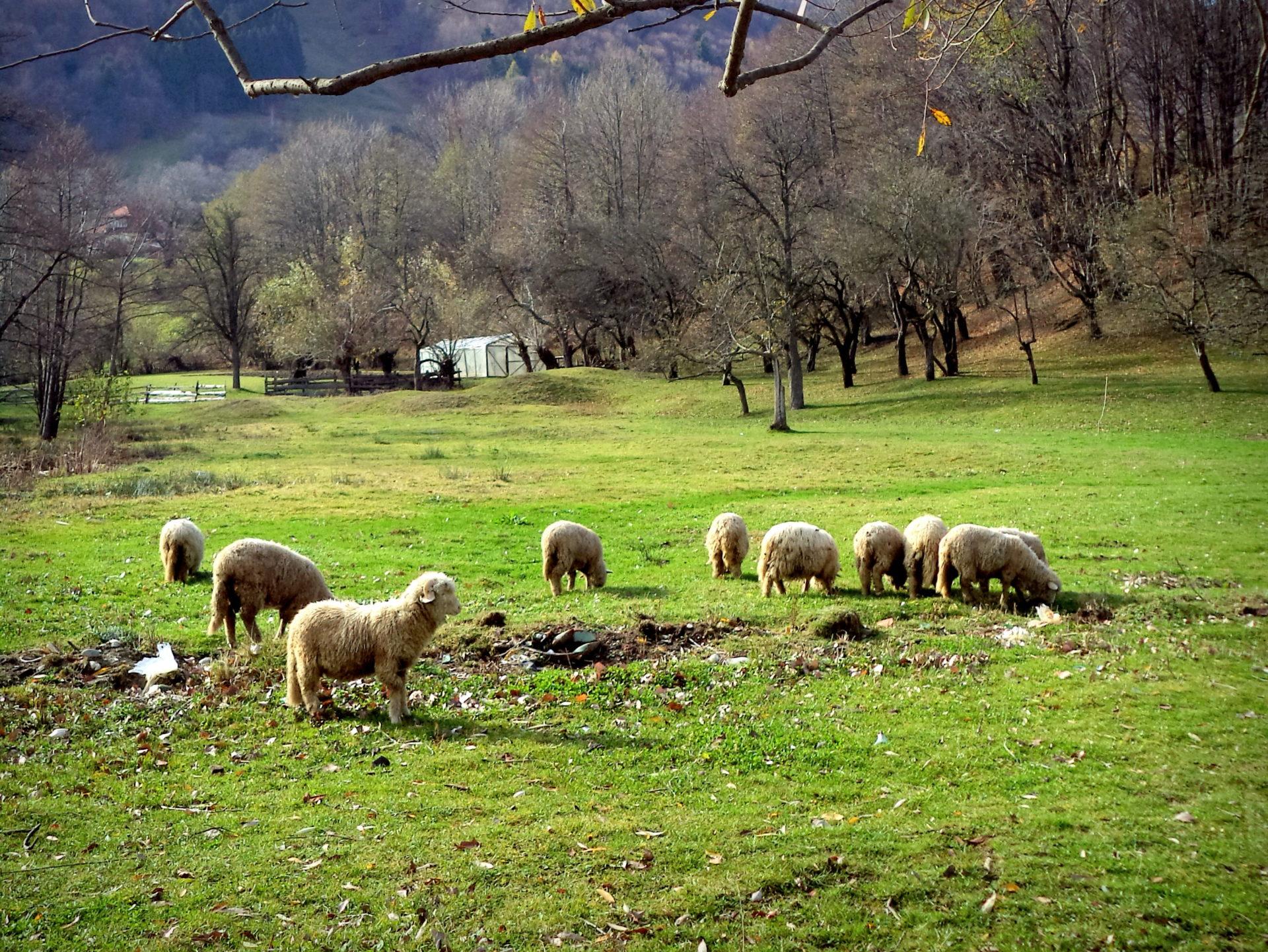 Maramuresz owce pasące się na łące