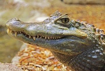 Zdjęcie aligatora