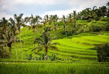 pola ryzowe indonezja