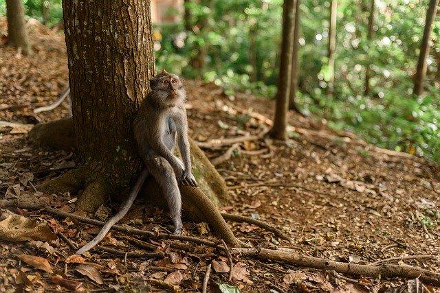 małpa indonezja