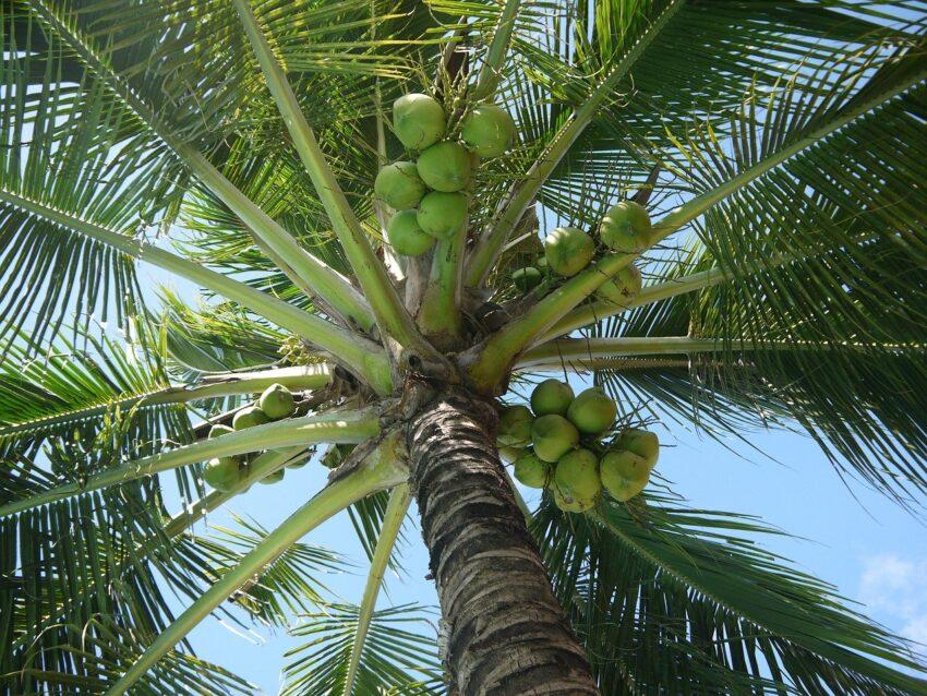 kokosy na plamie