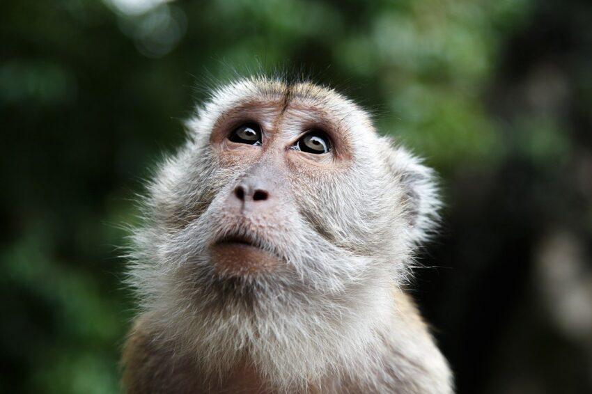 małpka malezja