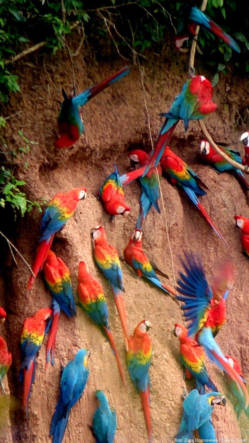 Collpa - żerowisko papug
