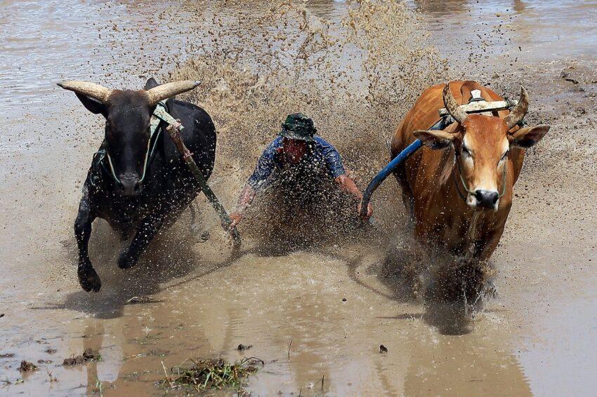 sumatra krowy
