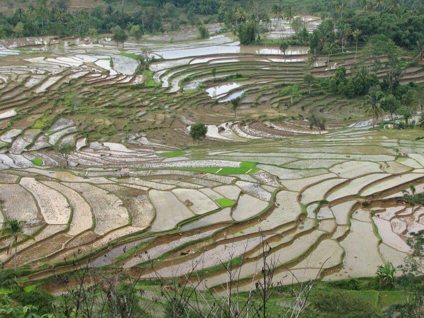 sumatra pola ryzowe