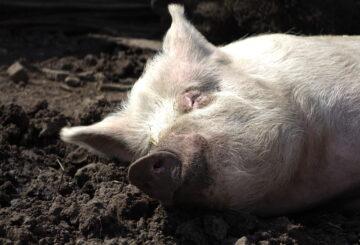 świnia