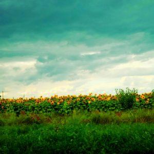 Pole słoneczników - Ukraina