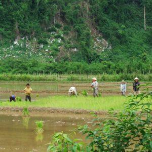 Uprawy ryżu - Laos