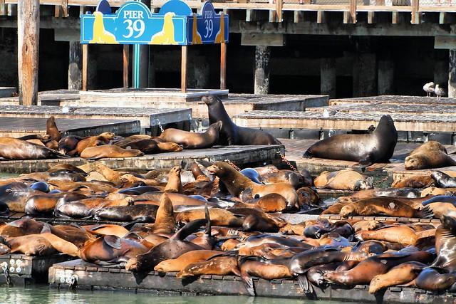 Fisherman's Wharf | lwy morskie na Pier 39