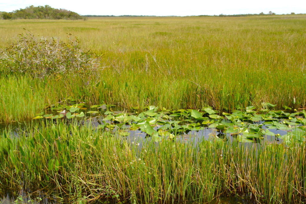 Rzeka Traw - Park Narodowy Everglades